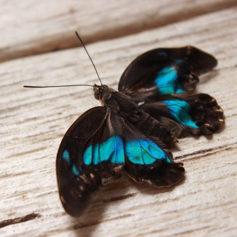 Après l'émergence (papillon aux ailes encore froissées)