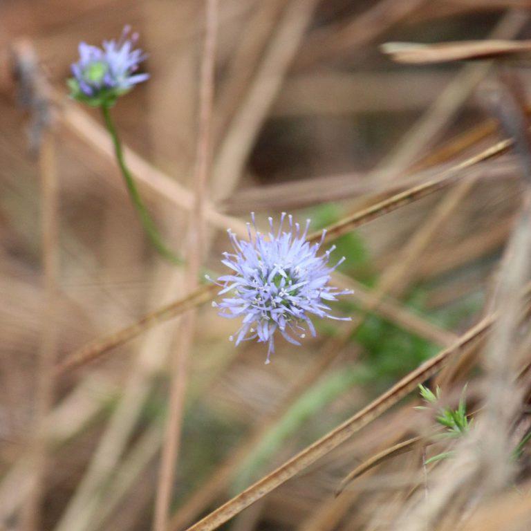 Petite fleur bleue (une Jasione des montagnes ?)